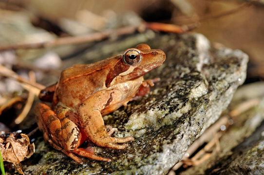 Italienischer Springfrosch // Italian agile frog (Rana latastei)