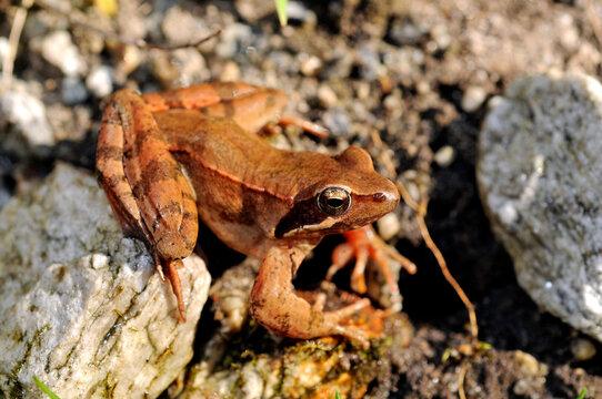 Italian agile frog // Italienischer Springfrosch (Rana latastei)