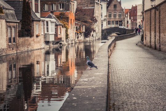 Belgium, West Flanders, Bruges, Pigeon standing at edge of city canal