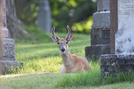 Deer Stag in Graveyard