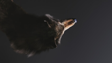 Fototapeta 3D illustration of a wolf's upper body seen from above on a black background. obraz