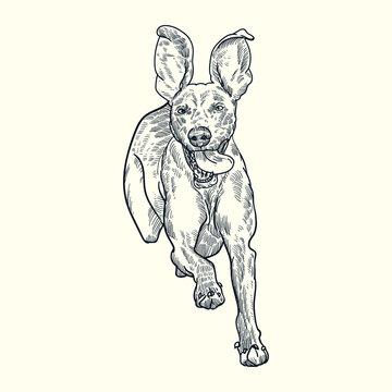 Vintage hand drawn sketch weimaraner dog