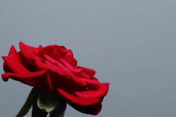 Obraz Czerwona róża na białym tle - fototapety do salonu