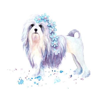 watercolor drawing of a pet - dog. L wchen. Bichon-Lyon
