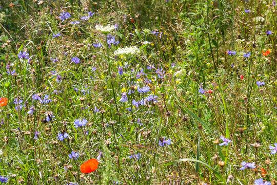bunte Wildblumenwiese als Bienen- und Insektenparadies