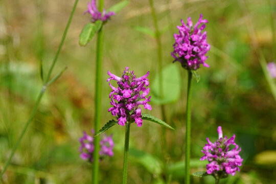 Close up purple flowers of Wood Betony (Stachys monieri hummelo), family Lamiaceae. Dutch garden, July.