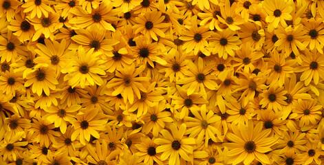 Fototapeta Wall of bright yellow flowers background. obraz