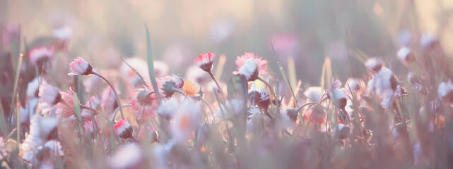 Obraz flowers daisies background summer nature, field green flowering colorful daisies - fototapety do salonu
