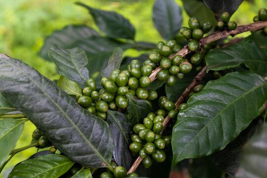 coffee beans on a tree with soft-focus and over light in the background