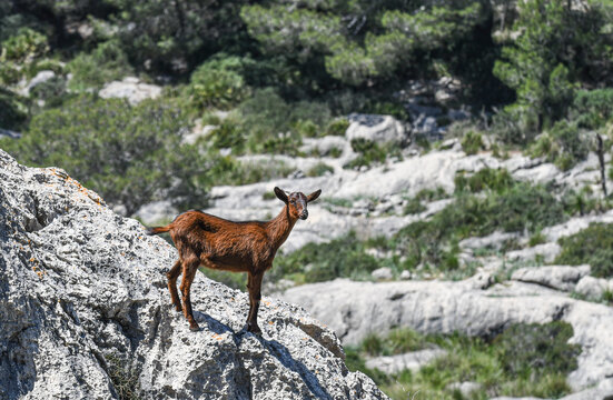 Goat standing on a rock
