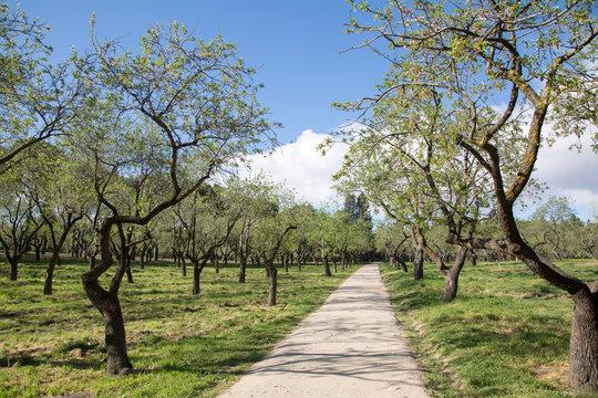 Almond Trees in Quinta de los Molinos Park; Madrid