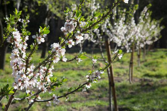 Almond Tree Blossom, Quinta de los Molinos Park; Madrid