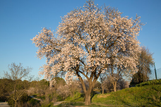 Almond Tree in Blossom, Dehesa de la Villa Park, Madrid