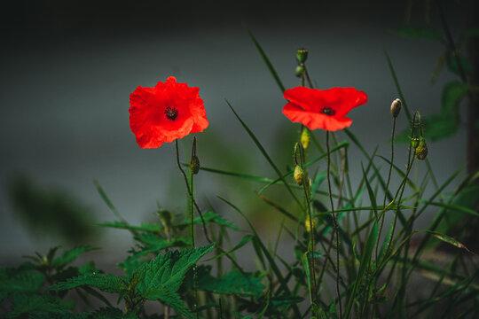 Mohn Blumen im Feld