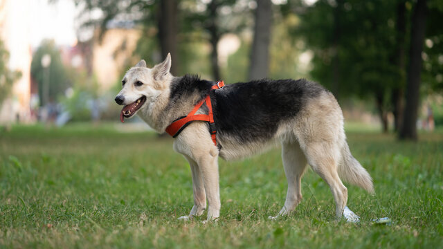 Shepherd dog on the grass with a red harness