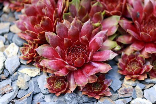 Colourful houseleeks, Sempervivum growing in garden rockery