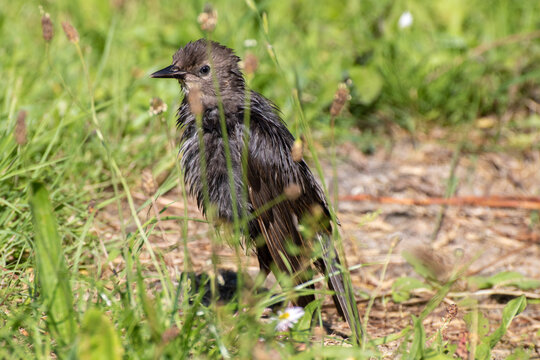 oiseau noir dans la nature, dans l'herbe  black bird in nature, in the grass