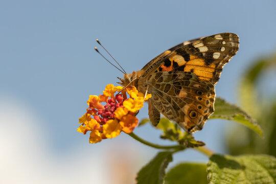 Schmetterling auf orangen Blüten