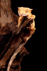 Fototapeta Gekon orzęsiony ciliatus obraz