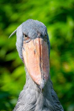 Shoebill, Balaeniceps rex, aka whalehead, whale-headed stork or shoe-billed stork.