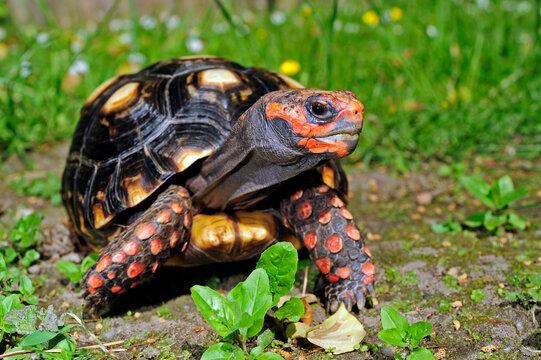 Köhlerschildkröte // Red-footed tortoise (Chelonoidis carbonarius)
