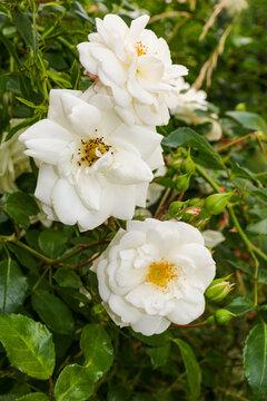 zarte weiße heckenrosenblüten (focus middle)