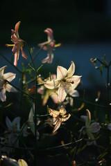 Obraz Kwiat lilii oświetlony światłem zachodzącego słońca - fototapety do salonu