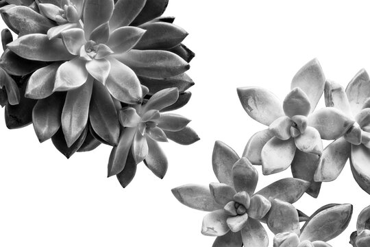 Succulents isolated on white