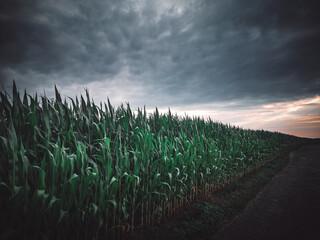 Fototapeta Widok na pole kukurydzy,  zachmurzone niebo, przed burzą, krajobraz wiejski, natura obraz
