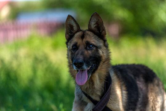 blind german shepherd dog at animal shelter