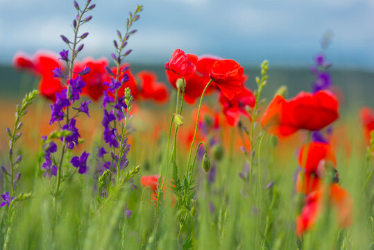 field with red poppies and purple flowers
