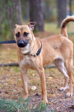 ginger mongrel dog at animal shelter