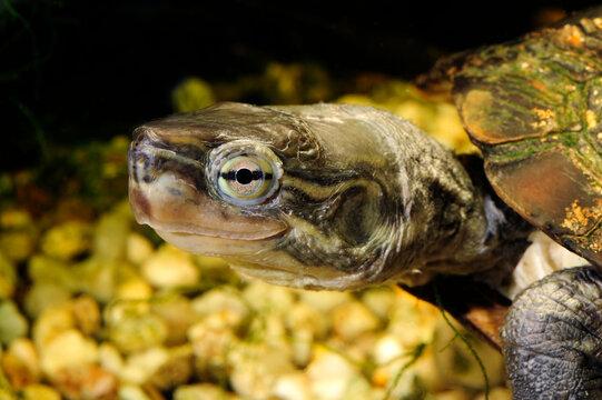 Wasserschildkröte // Pond terrapin (Mauremys pritchardi)