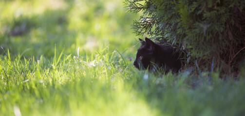 Fototapeta Czarny kot poluje w trawie obraz