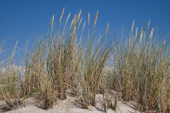 Sand und Strandhafer in den Dünen von Sylt.