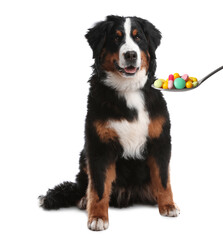 Obraz Adorable Bernese Mountain dog and spoon full of different pills on white background. Vitamins for animal - fototapety do salonu