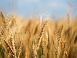 Obraz kłos pszenicy w promieniach słońca, łan, owies, zboże  - fototapety do salonu
