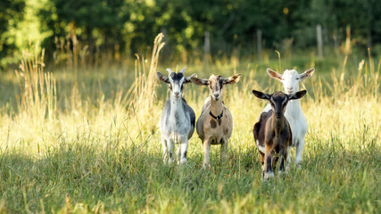 Obraz Four, brown, beige, white and gray goats stand in a summer meadow with long bends and look at us - fototapety do salonu