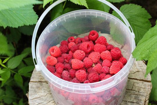 large garden raspberries in a plastic bucket.