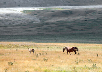 Obraz horses in the wild with mum controlling her foal in the immense boundless prairie with dry grass - fototapety do salonu
