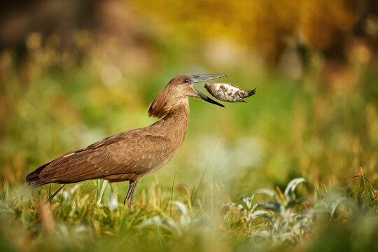 Scopus umbretta, Hamerkop or Hammerhead, with big tilapia fish directly in opened beak. Brownish african wading bird, fishing in typical wetland habitat. Wildlife of Ethiopia, lake Ziway.