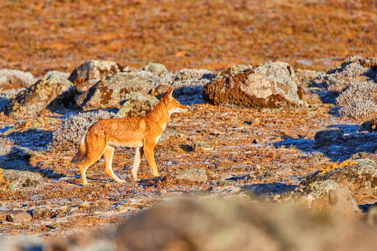 Orange and white colored, highly endangered beast, Ethiopian wolf, Canis simensis, on the hunt. Hoarfrost, Sanetti plateau environment, Bale Mountains National Park, Ethiopia, roof of Africa.