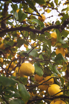 lemons growing on a large lemon tree