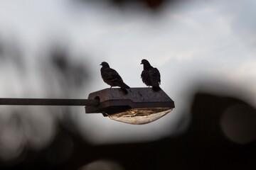 Fototapeta Zachód słońca. Dwa gołębi siedzą na lampie. obraz