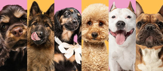 Obraz Collage made of close-up cropped portrait of funny dogs different breeds on multicolored studio background in neon light. - fototapety do salonu