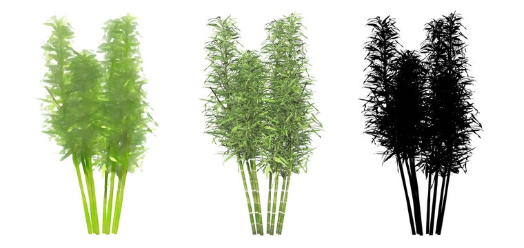 Set or collection of Bamboo trees, painted, natural and as a black silhouette on white background. Concept or conceptual 3d illustration for nature, ecology and conservation, strength