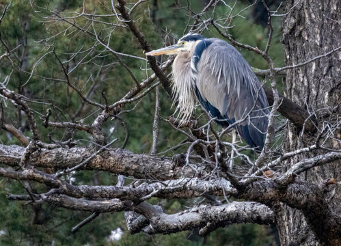 Great Blue Heron at Eleven Mile Canyon