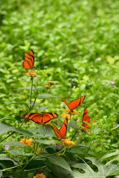orange butterflies on a flower