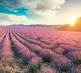 Violet lavender field in Provence. Lavanda officinalis