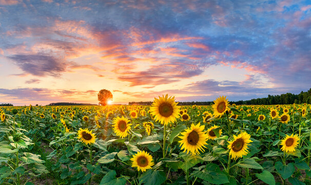 Beautiful sunset over sunflower field - panorama shot